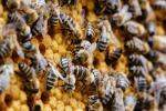 Unsere Bienen_4